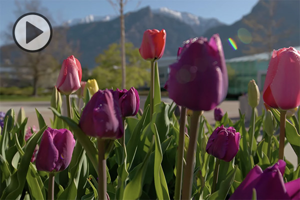 Red and purple tulips bloom in front of the BYU library. Hints of snow still cap the mountains in the background of campus.
