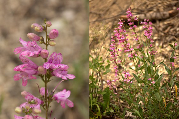 Two images of true pink penstemon specimens showing pink-striped petals.
